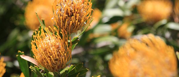 Kirstenbosch in Kapstadt