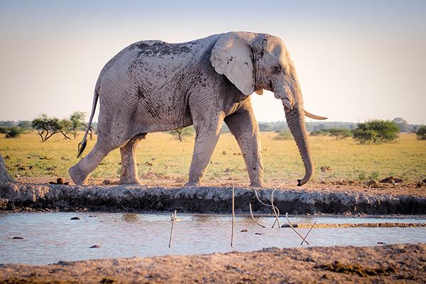 Elefant am Wasser