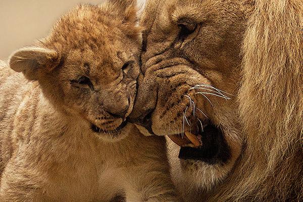 Löwen die schmusen