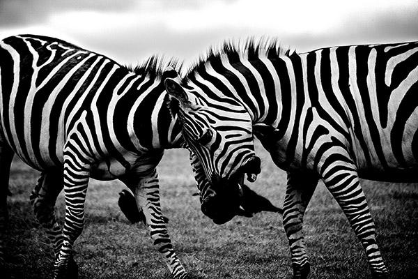 Safari mit Zebras